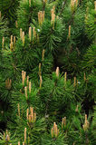 Pine tree branches Stock Photography