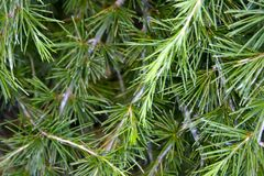 Pine Tree Branches. Awaiting the snowy weather Stock Photo