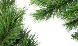 Pine Tree Branches. Isolated on a white background royalty free stock image