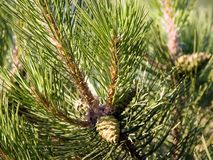 Pine-tree branches. Pine-tree branch Royalty Free Stock Photography
