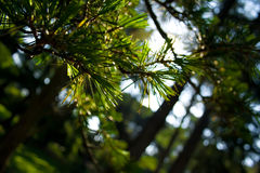 Pine tree branches Royalty Free Stock Images