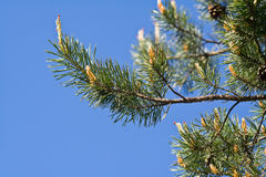 Pine tree branches Royalty Free Stock Image
