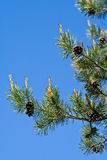 Pine tree branches Royalty Free Stock Photos