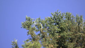 Pine Tree Branches Against Blue Sky.  stock footage