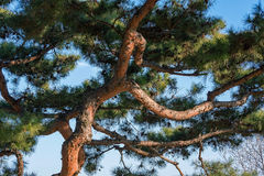 Pine tree branches against a blue sky Stock Photo