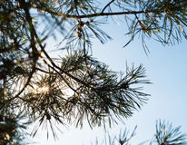 Pine tree branches against the shining sun Royalty Free Stock Photo