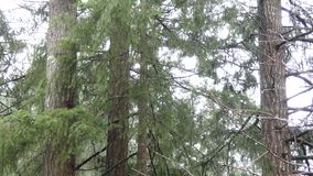 Pine tree branches blowing in the breeze stock footage