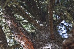 Pine tree with branches close-up with relief bark