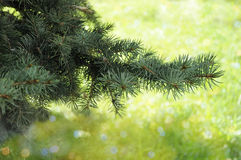 Pine-tree branches closeup Stock Images