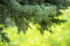 Pine-tree branches closeup Royalty Free Stock Photo