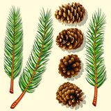 Pine Tree Branches and Cones. Vector Illustration Stock Image