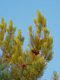 Pine tree branches with cones Royalty Free Stock Photography