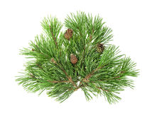 Pine tree branches with cones isolated on white background Stock Photo