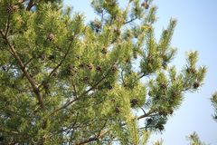 Pine tree branches with cones in spring over clear blue sky Stock Photos