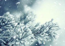 Pine tree branches covered frost in snowy atmosphere Royalty Free Stock Image