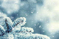 Pine tree branches covered frost in snowy atmosphere Royalty Free Stock Images
