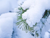 Pine tree branches covered with snow Royalty Free Stock Photo