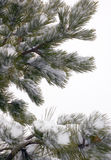 Pine Tree Branches Covered in Snow. Close up of pine tree branches covered in new fallen snow stock images