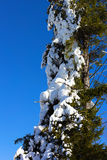 Pine tree branches covered by snow against the bright sunny sky. Royalty Free Stock Images