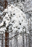 Pine tree branches covered with snow in forest Stock Image