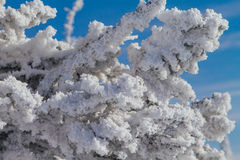 Pine tree branches covered with white snow and ice. Close up pine tree branches covered with white snow and ice Royalty Free Stock Image
