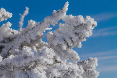 Pine tree branches covered with white snow and ice. Close up pine tree branches covered with white snow and ice Royalty Free Stock Images