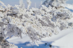 Pine tree branches covered with white snow and ice. Close up pine tree branches covered with white snow and ice Stock Images