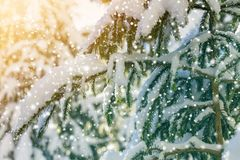 Pine tree branches with green needles covered with deep fresh cl royalty free stock photos