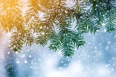 Pine tree branches with green needles covered with deep fresh clean snow on blurred blue outdoors copy space background. Merry royalty free stock photo