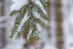 Pine tree branches with green needles covered with deep fresh clean snow on blurred blue outdoors copy space background. Merry stock photos
