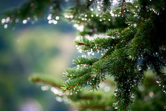 Pine tree branches with melting snow Royalty Free Stock Photo