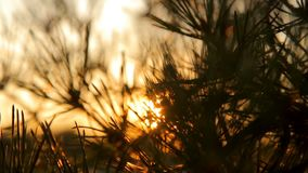 Pine tree branches with needles on sunset against the sky backlight. Pine tree branches with needles on sunset against the sky backlit in sun rays stock video