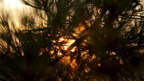 Pine tree branches with needles on sunset against the sky backlight. Pine tree branches with needles on sunset against the sky backlit in sun rays stock video footage
