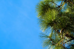 Pine Tree Branches on a Sky Background Royalty Free Stock Photos