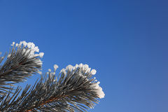 Pine tree branches with snow. Royalty Free Stock Photo