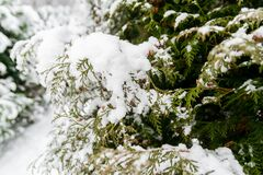 Pine tree branches with snow Royalty Free Stock Photography