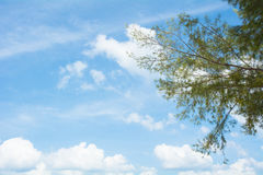 Pine tree branches in sunny day. Stock Photo