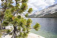 Pine tree branches on Tenaya Lake, Yosemite National Park Stock Photos