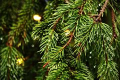 Free Pine Tree Branches With Green Needles And Rain Drops Stock Photo - 168526060