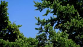 Pine Tree In Breeze On Sunny Day. Big evergreen tree moving gently in the summer stock video footage