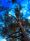 Pine tree and the bright  blue sky Royalty Free Stock Photo