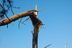 Pine tree broken by wind Royalty Free Stock Image
