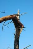Pine tree broken by wind Stock Photos