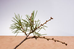 Pine tree brunch with leaves Royalty Free Stock Image