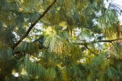 Pine tree brunch between lights and shadows Royalty Free Stock Photos