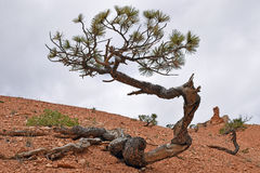 Pine tree at Bryce Canyon Royalty Free Stock Photo