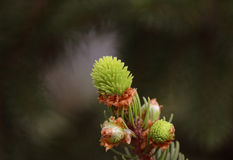 Pine tree bud Stock Images