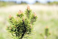 Pine tree buds in summer Stock Photos