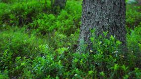 Pine tree and bushes in wild forest stock footage