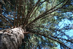 Pine tree canopy royalty free stock photography